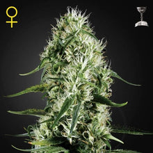 Load image into Gallery viewer, Super Silver Haze - Greenhouse Seed Company