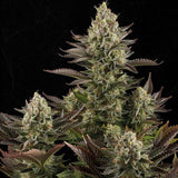 White Widow - Greenhouse Seed Company