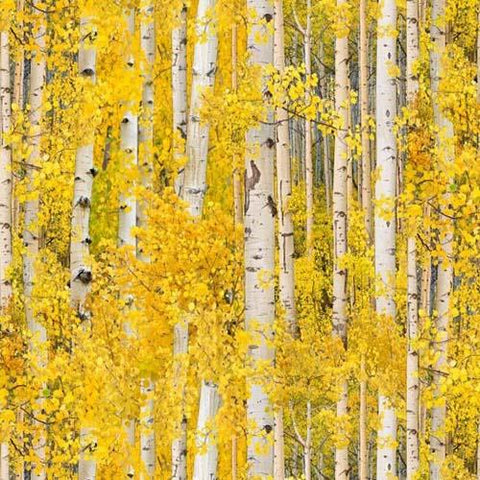 Packed gray birch or aspen trees surrounded by golden leaves