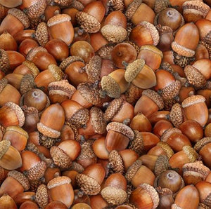 Detailed packed brown acorns are featured in this 100% cotton fabric.