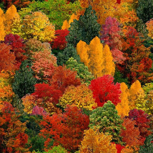 Autumn trees in red, gold, rust, green fabric available at Colorado Creations Quilting