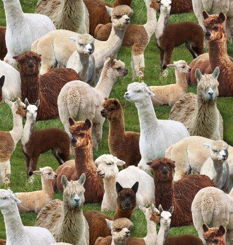 Packed llamas in shades of brown, tan and white on  green grass cotton fabric is available at Colorado Creations Quilting