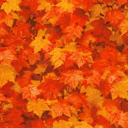 Maple Leaves of Orange and Red
