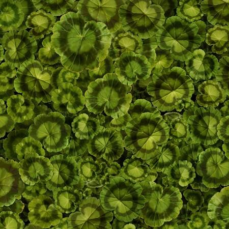 Packed green geranium leaves