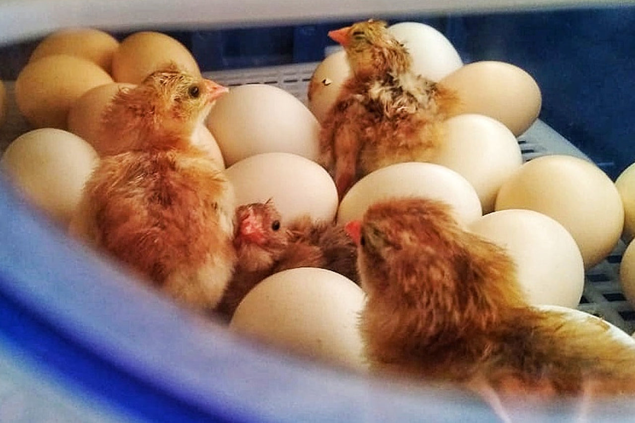 A Sneak Peek at Our Adorable Baby Chicks!