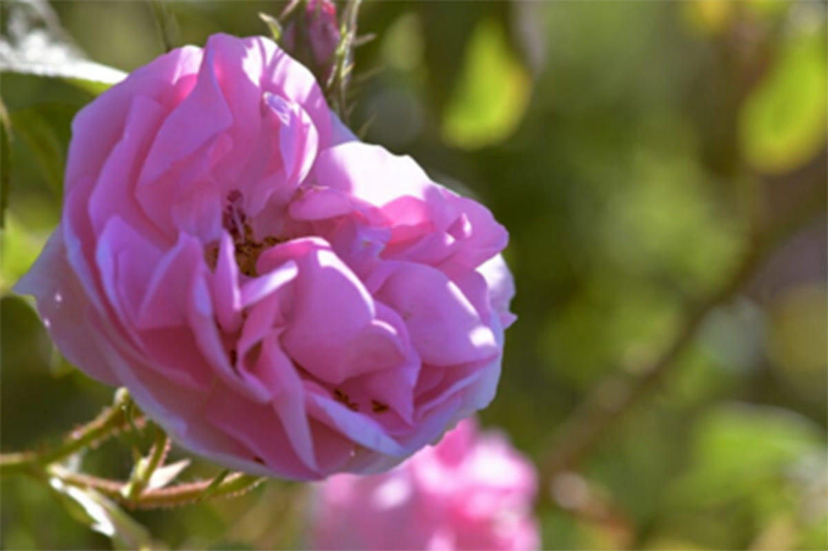 Rosa Damascena – the Lebanese queen of flowers