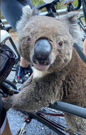 Thirsty Koala Displaced by Australia's Bushfires Rushes to Cyclist for Drink of Water