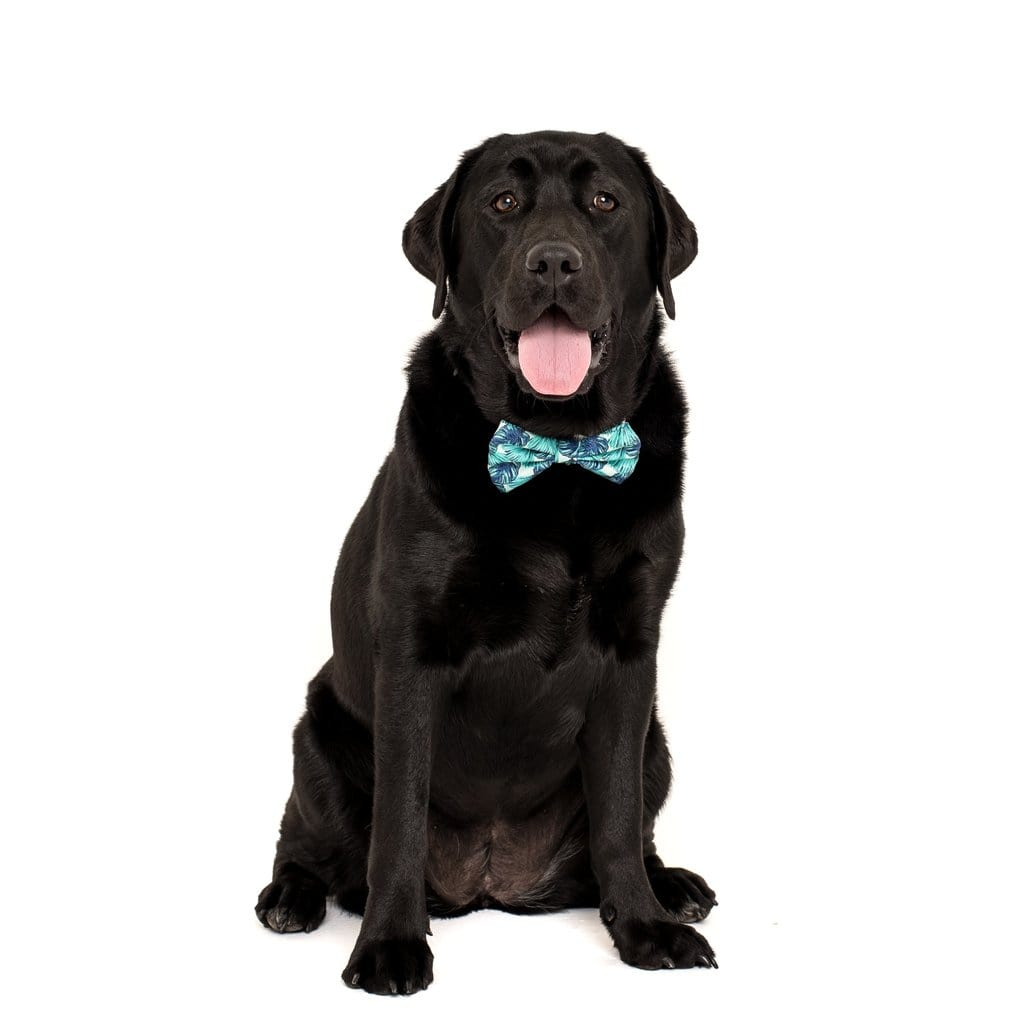 Big-Little-Dogs-Comfort-Dog-Collar-and-Bow-Tie-Miami-Summer-Bella