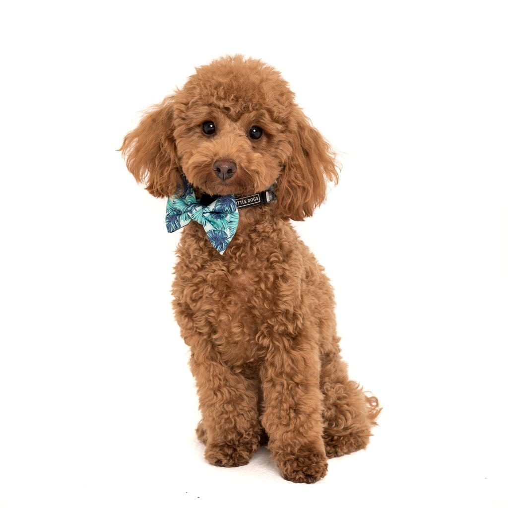 Big-Little-Dogs-Comfort-Dog-Collar-and-Bow-Tie-Miami-Summer-Coco