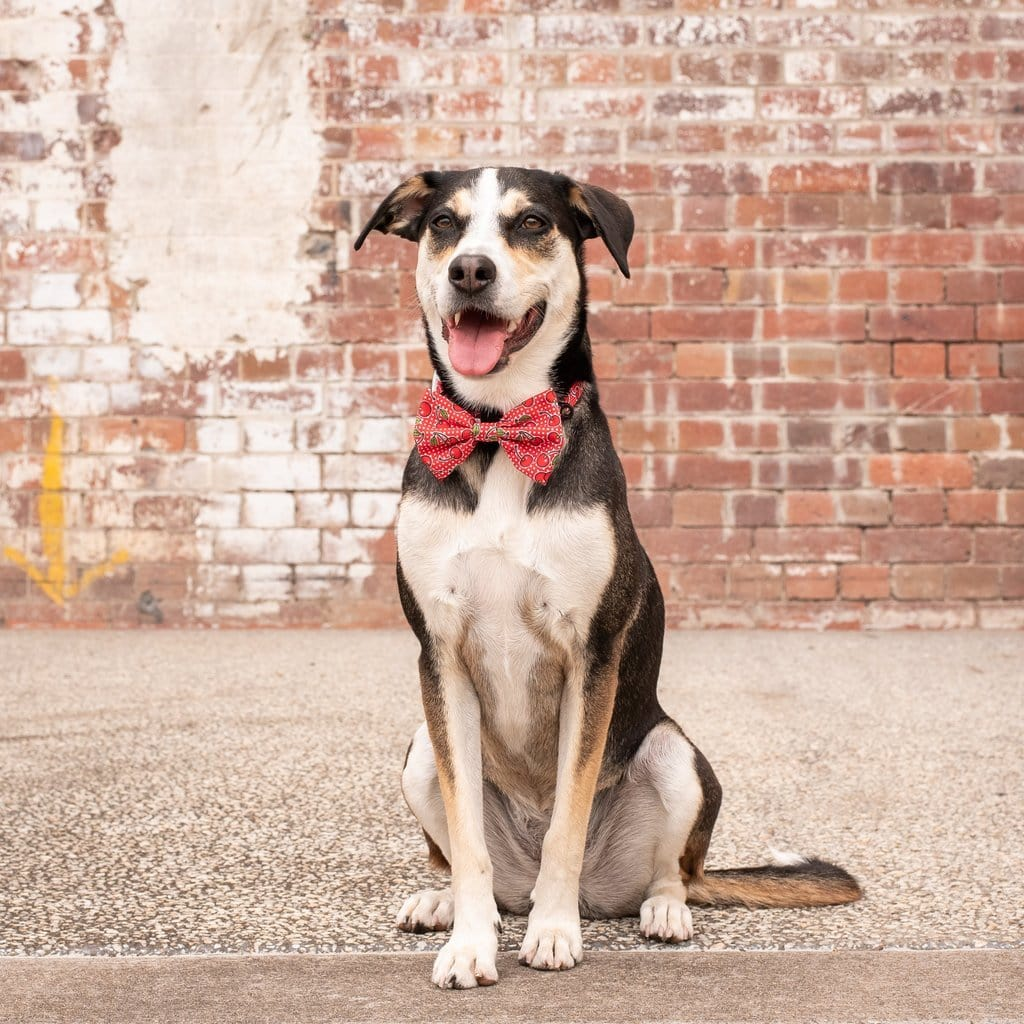 Big-Little-Dogs-Dog-Collar-and-Bow-Tie-Cherrylicious-Luna-1
