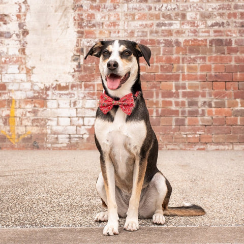 Image of Big-Little-Dogs-Dog-Collar-and-Bow-Tie-Cherrylicious-Luna-1