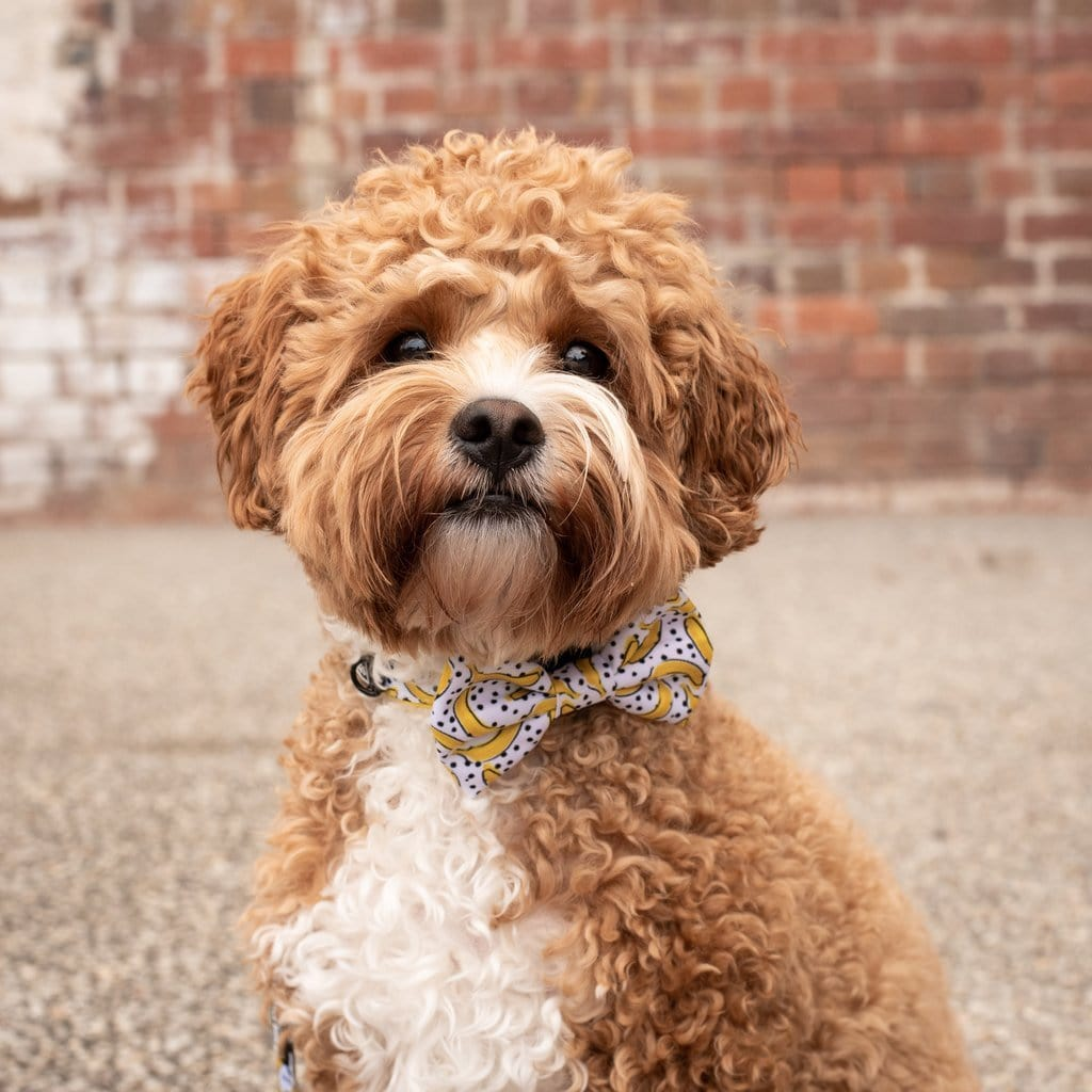 Big-Little-Dogs-Dog-Collar-and-Bow-Tie-Going-Bananas-Harvey-2