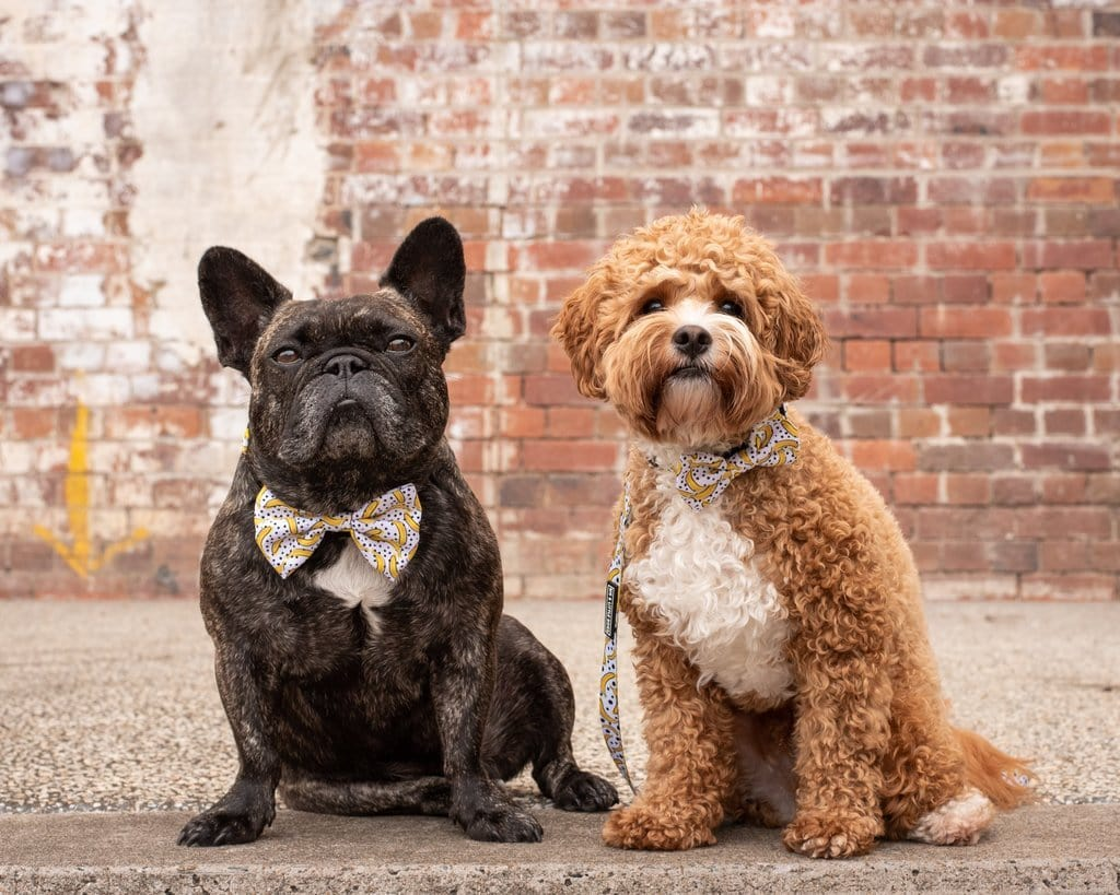 Big-Little-Dogs-Dog-Collar-and-Bow-Tie-Going-Bananas-Toby-and-Harvey