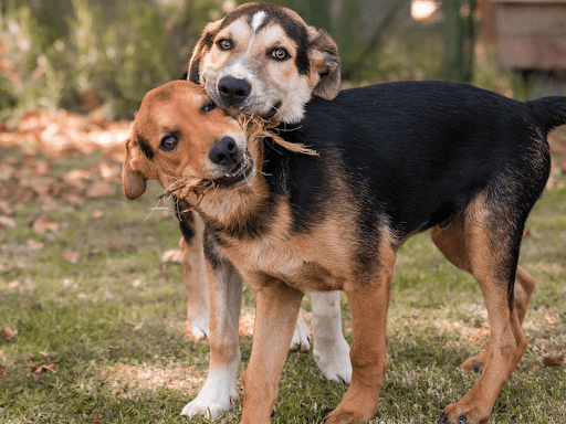 two-dogs-playing-socialisation