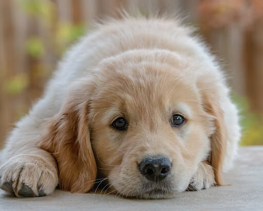 puppy-laying-down