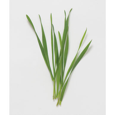 Hard Winter Wheat (Wheatgrass)