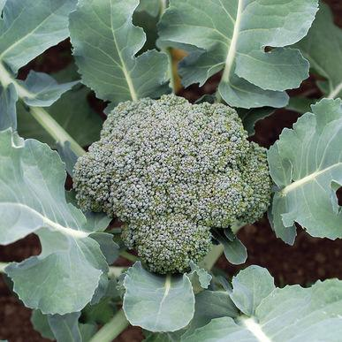Blue Wind (Broccoli)