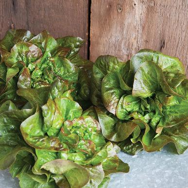 Cegolaine (Little Gem Lettuce)