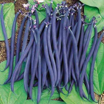 Velour (French Bean)