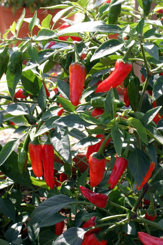 Apache (Hot Pepper)