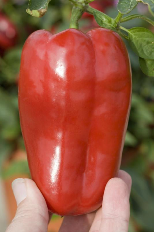 Redskin (Sweet Pepper)