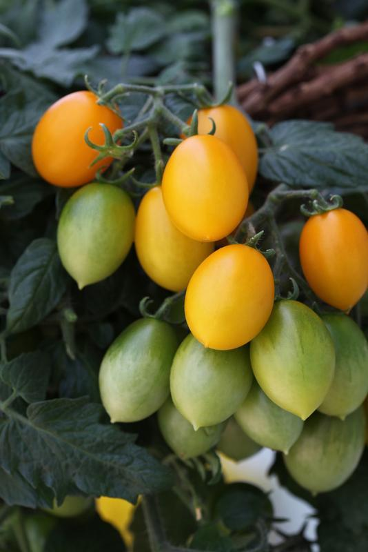 Peardrops (Yellow Ovoid Tomato)