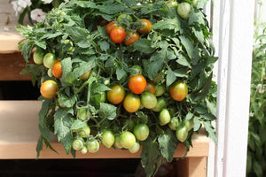 Tumbling Tiger (Trailing Cherry Tomato)