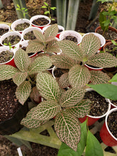 Load image into Gallery viewer, Fittonia (Nerve Plant)