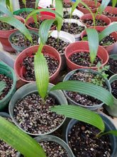 Load image into Gallery viewer, Licuala Ramsayi palm seedling
