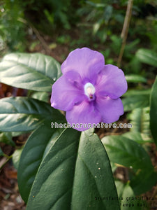 2 Unrooted Brunsfelsia grandiflora cuttings