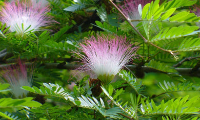 CBT 2021 Calliandra angustifolia Bobinsiana 5 pack of Seeds