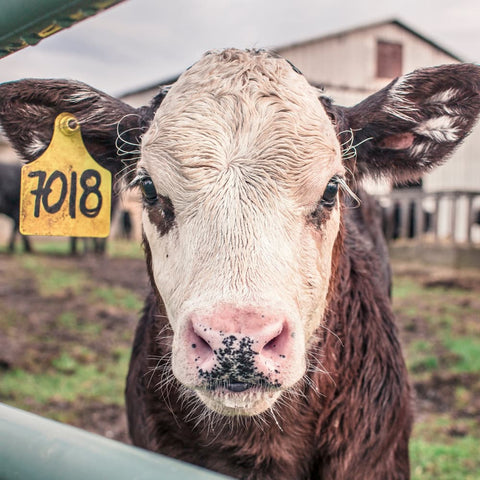 a farm cow with a tag in its ear