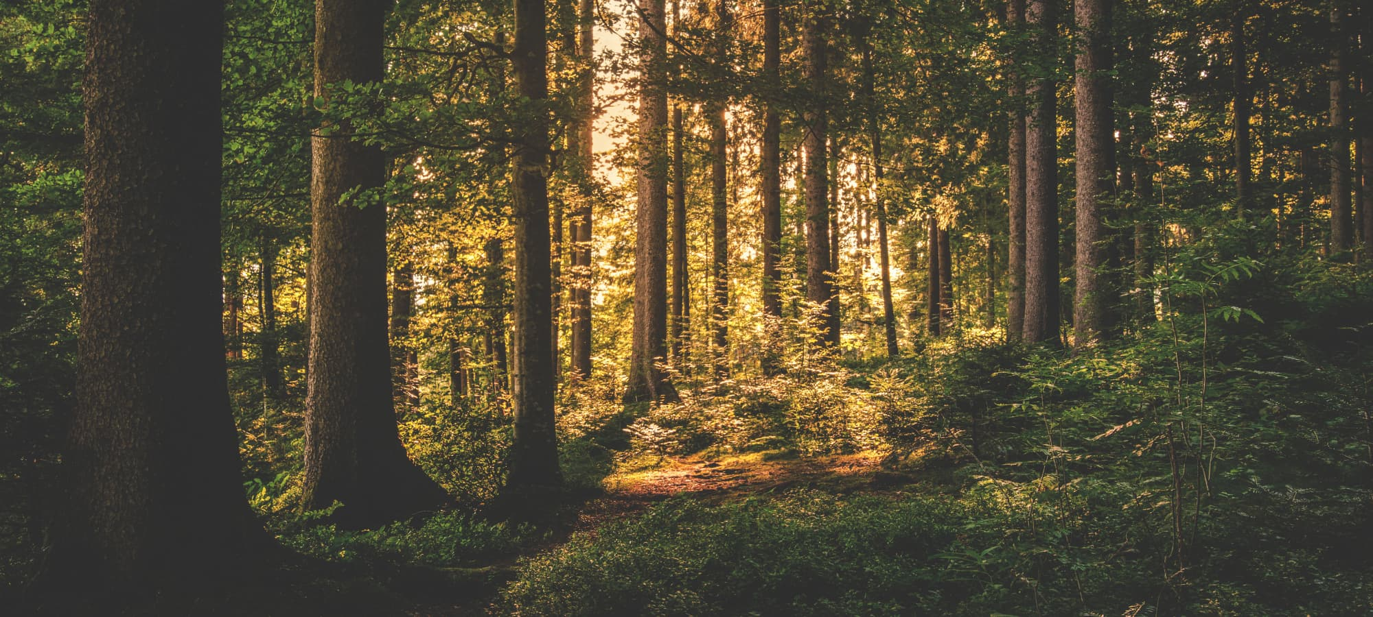 a lush forest at twilight