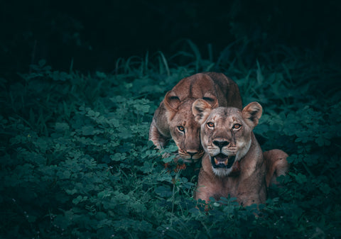 two lions in the African bush at night
