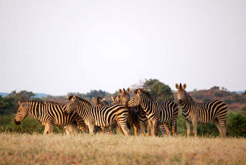 a herd of zebras on the African plain