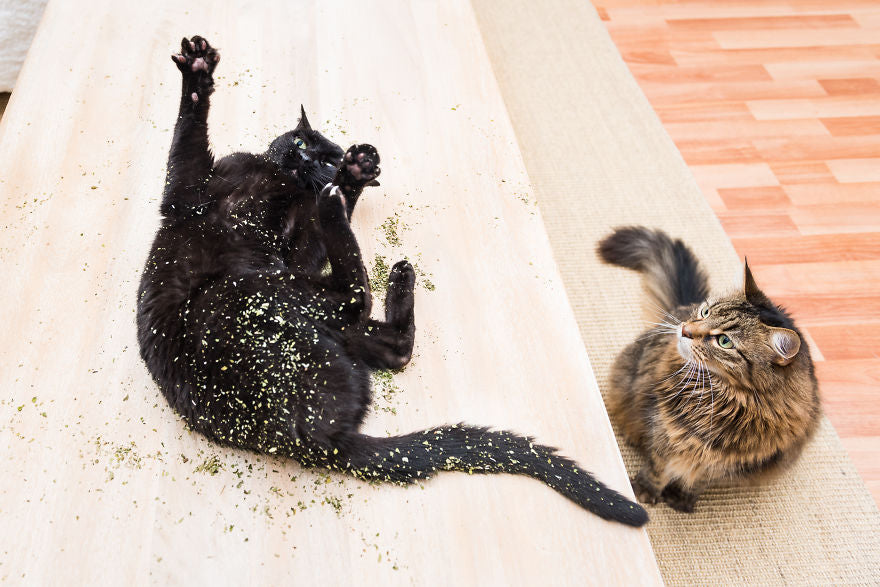 cats on catnip