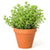 Kitchen Secrets Collection - Oregano Plant
