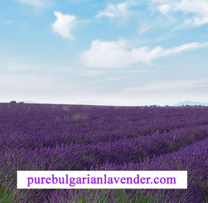 Bulgaria Provides The Perfect Climate for High-Quality Lavender