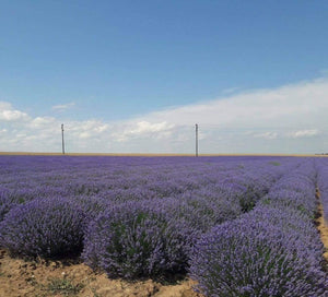 How is Bulgarian Lavender Different from other Lavenders?