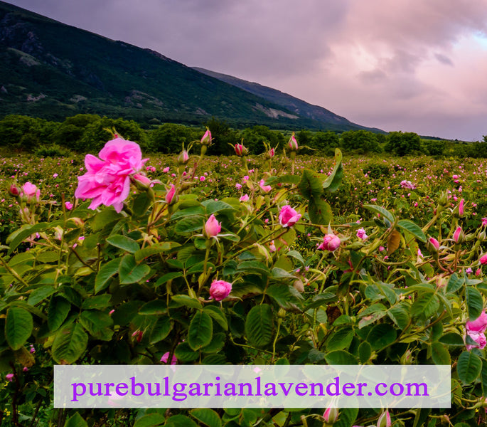 What Makes Bulgarian Rose Oil So Special?