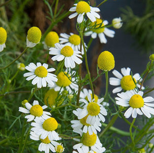 Bulk Blue Chamomile - USDA Organic and Conventional
