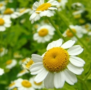 Chamomile Roman Oil for wholesale
