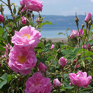 Bulgarian Rose Oil for wholesale