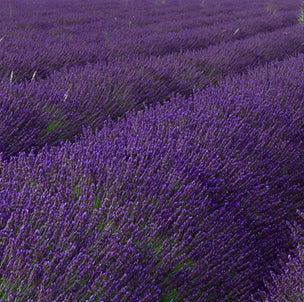 Bulk Bulgarian Lavender Oil and Hydrosol USDA Organic and Conventional