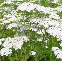 Bulk Yarrow Oil