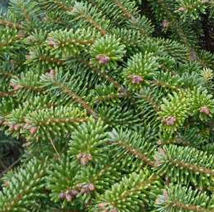 Bulk Abies Alba Essential Oil