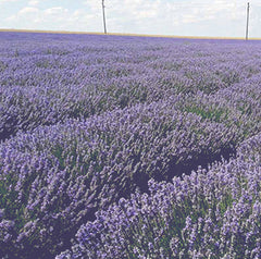 Our Lavender is comimng from this field