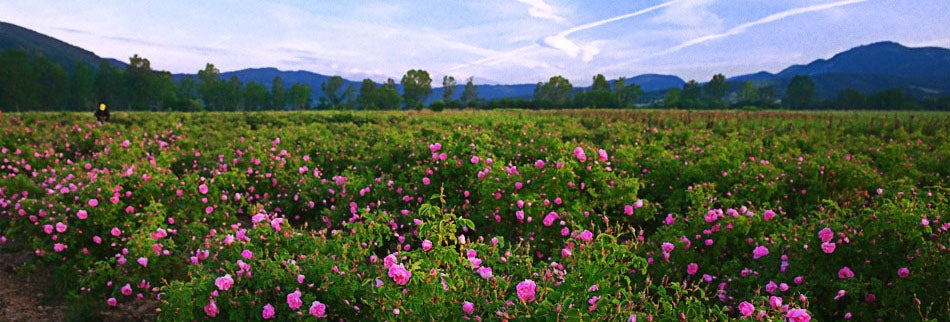 Our rose fields