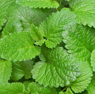 The aroma of our Bulk Melissa Essential Oil it is adorable, like staying in a lemon garden in summer night. Bulk Melissa essential oil; Wholesale Melissa essential; lemon balm melissa; Bulk essential oil; wholesale of Bulgarian Lavender Oil; uses of lavender oil; benefits of lavender oil; Bulk Bulgarian Rose Oil; Bulgarian Rose Otto