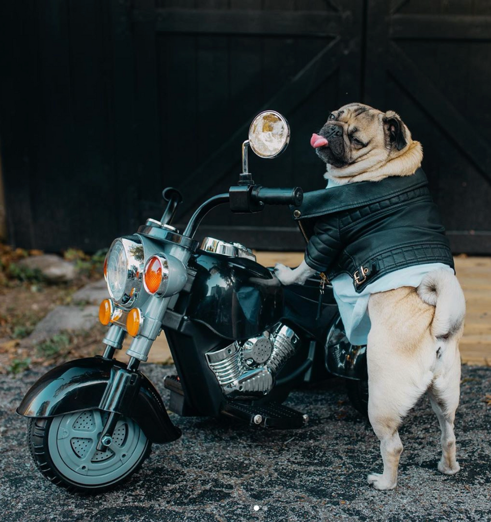 A day in the life of Doug the Pug